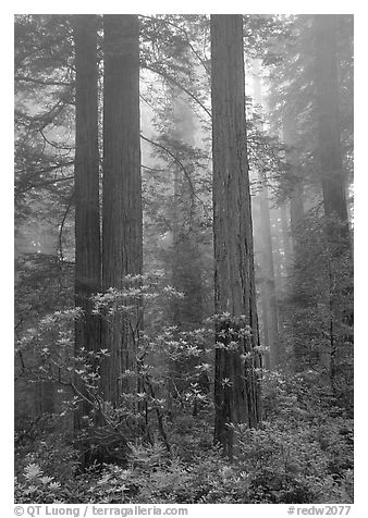 Redwood and rododendron trees in fog, Del Norte Redwoods State Park. Redwood National Park (black and white)