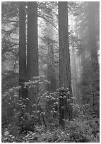 Redwood and rododendron trees in fog, Del Norte. Redwood National Park, California, USA. (black and white)