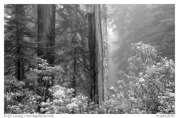 Rododendrons and redwood grove in fog, Del Norte Redwoods State Park. Redwood National Park (black and white)