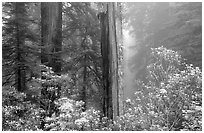 Rododendrons and redwood grove in fog, Del Norte. Redwood National Park, California, USA. (black and white)