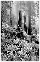 Ferns, burned redwood trees, and fog, Del Norte. Redwood National Park, California, USA. (black and white)