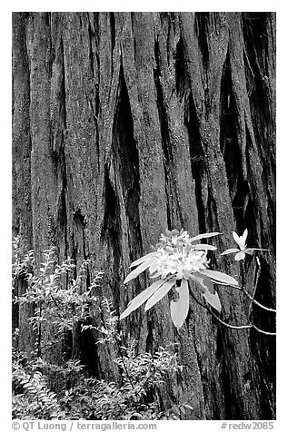 Rhodoendron flower and redwood trunk close-up. Redwood National Park (black and white)