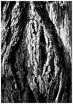 Redwood bark close-up. Redwood National Park, California, USA. (black and white)