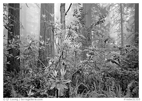 Rododendrons, redwoods, and fog, Lady Bird Johnson Grove. Redwood National Park (black and white)