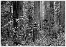Rododendrons, redwoods, and fog, Del Norte. Redwood National Park, California, USA. (black and white)