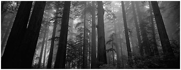 Tall forest in mist, Lady Bird Johnson Grove. Redwood National Park (Panoramic black and white)