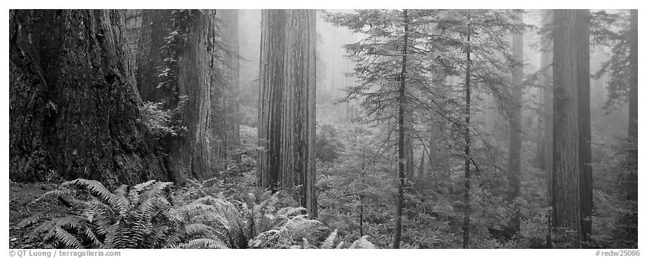 Ferns and trees in fog. Redwood National Park (black and white)