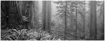 Ferns and trees in fog. Redwood National Park (Panoramic black and white)