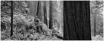 Misty forest and ferns. Redwood National Park (Panoramic black and white)