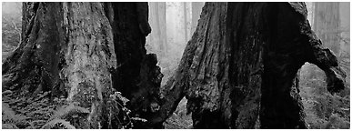 Hollow ancient tree in the fog. Redwood National Park (Panoramic black and white)