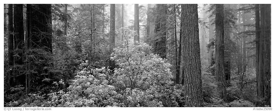 Spring forest with rhododendrons. Redwood National Park (black and white)