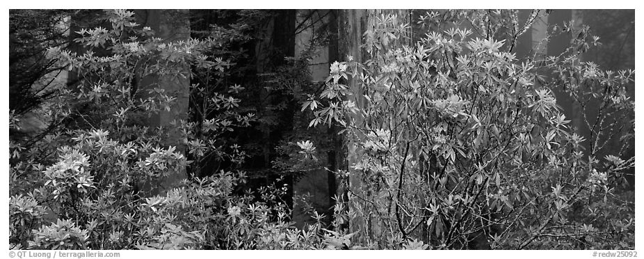 Redwood forest with rhododendrons. Redwood National Park (black and white)