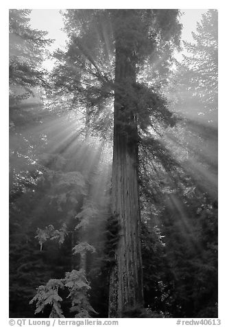 Redwood tree and sun rays in fog, Del Norte Redwoods State Park. Redwood National Park (black and white)