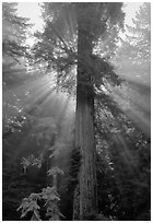 Redwood tree and sun rays in fog. Redwood National Park, California, USA. (black and white)