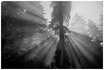 God's rays in redwood forest. Redwood National Park, California, USA. (black and white)