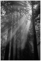Redwood forest and sun rays. Redwood National Park, California, USA. (black and white)