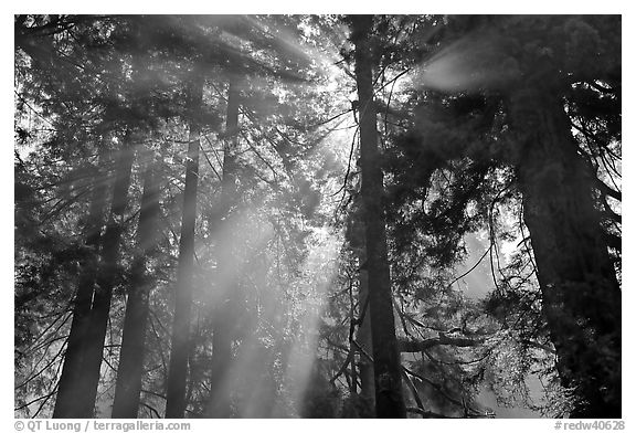 Tall redwood trees and backlit sun rays. Redwood National Park, California, USA.