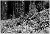 Pacific sword ferns in redwood forest, Prairie Creek. Redwood National Park, California, USA. (black and white)