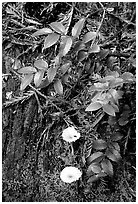 Forest floor detail, Prairie Creek. Redwood National Park, California, USA. (black and white)