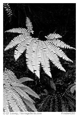 Ferns, Fern Canyon. Redwood National Park (black and white)