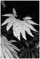 Ferns, Fern Canyon. Redwood National Park, California, USA. (black and white)
