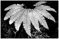 Single fern, Fern Canyon. Redwood National Park ( black and white)