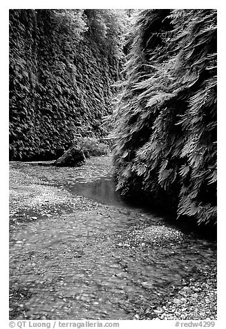 Stream and walls covered with ferns, Fern Canyon. Redwood National Park (black and white)
