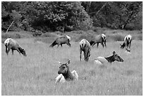 Herd of Roosevelt Elk in meadow, Prairie Creek. Redwood National Park, California, USA. (black and white)