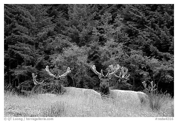 Herd of Bull Roosevelt Elks, Prairie Creek Redwoods State Park. Redwood National Park (black and white)
