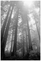Visitor dwarfed by Giant Redwood trees. Redwood National Park, California, USA. (black and white)