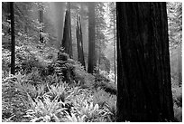 Ferns and redwoods in mist, Del Norte. Redwood National Park, California, USA. (black and white)