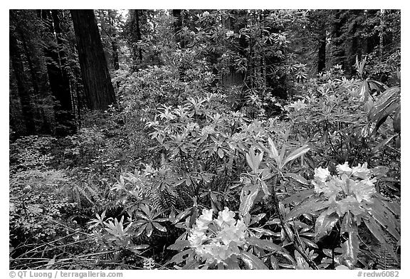 Rododendrons in bloom in a redwood grove, Del Norte Redwoods State Park. Redwood National Park (black and white)