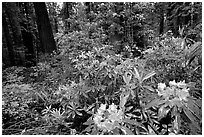 Rododendrons in bloom in a redwood grove, Del Norte. Redwood National Park, California, USA. (black and white)
