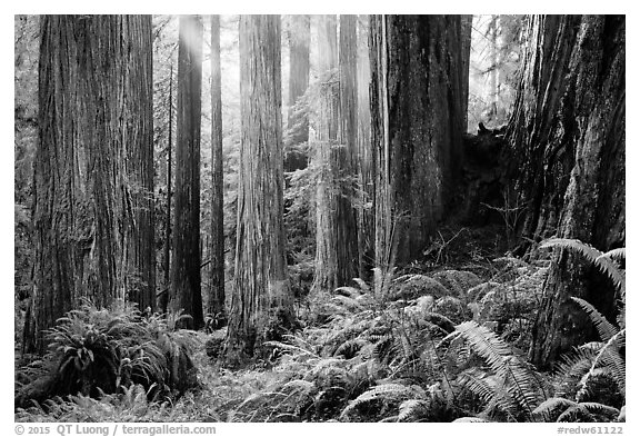 Sunlight in lowland redwood forest, Jedediah Smith Redwoods State Park. Redwood National Park (black and white)