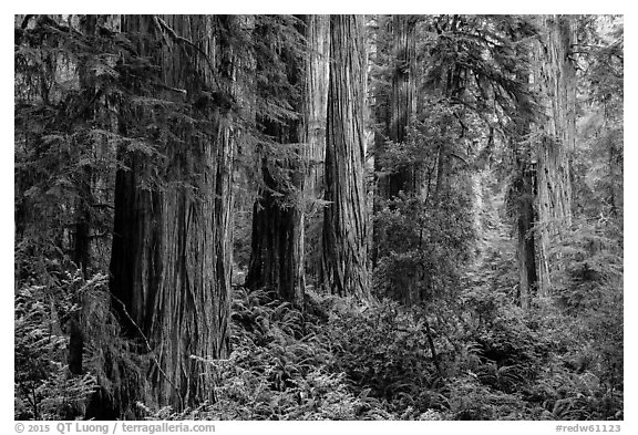 Lush lowland redwood forest, Jedediah Smith Redwoods State Park. Redwood National Park (black and white)