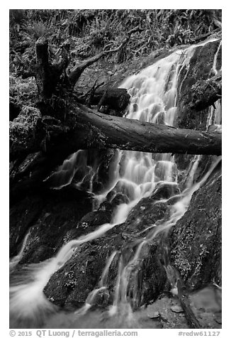 Fern Falls, Jedediah Smith Redwoods State Park. Redwood National Park (black and white)