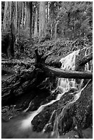 Fern Falls and redwood trees, Jedediah Smith Redwoods State Park. Redwood National Park ( black and white)