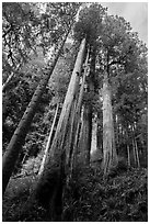 Looking up hillside with tall redwoods, Jedediah Smith Redwoods State Park. Redwood National Park ( black and white)