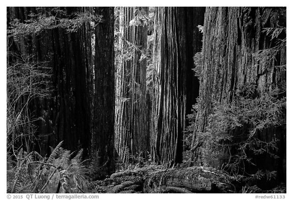 Light on trunks of giant redwood trees, Jedediah Smith Redwoods State Park. Redwood National Park (black and white)