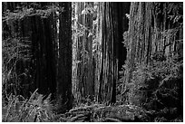 Light on trunks of giant redwood trees, Jedediah Smith Redwoods State Park. Redwood National Park ( black and white)