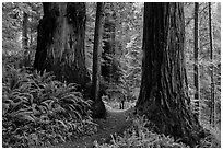 Hiker between giant redwoods, Boy Scout Tree trail, Jedediah Smith Redwoods State Park. Redwood National Park ( black and white)