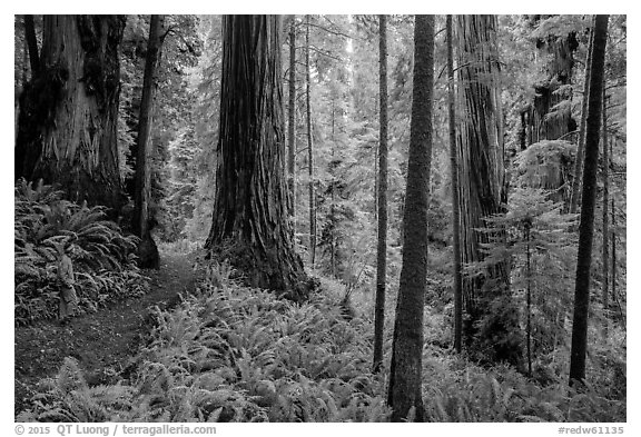 Visitor looking, Boy Scout Tree trail, Jedediah Smith Redwoods State Park. Redwood National Park (black and white)