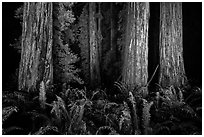 Ancient redwoods lighted at night, Jedediah Smith Redwoods State Park. Redwood National Park ( black and white)