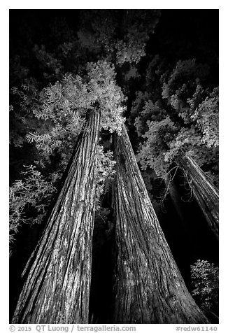 Tall redwoods lighted at night, Jedediah Smith Redwoods State Park. Redwood National Park (black and white)
