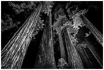 Towering redwoods at night, Jedediah Smith Redwoods State Park. Redwood National Park ( black and white)