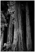 Redwood tree trunks lighted at night, Jedediah Smith Redwoods State Park. Redwood National Park ( black and white)