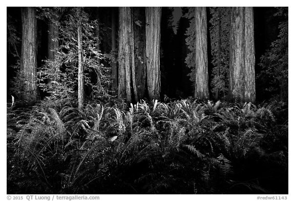 Ferns and redwoods at night, Jedediah Smith Redwoods State Park. Redwood National Park (black and white)