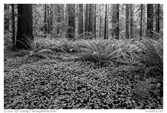 Clovers, ferns, and redwoods, Stout Grove, Jedediah Smith Redwoods State Park. Redwood National Park (black and white)