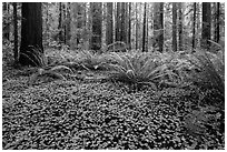 Clovers, ferns, and redwoods, Stout Grove, Jedediah Smith Redwoods State Park. Redwood National Park ( black and white)