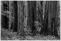 Visitor looking, Stout Grove, Jedediah Smith Redwoods State Park. Redwood National Park ( black and white)